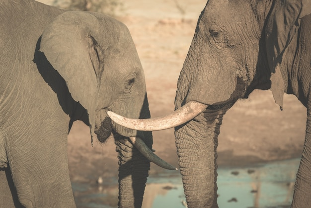 Couple of african elephant, young and adult, at waterhole.