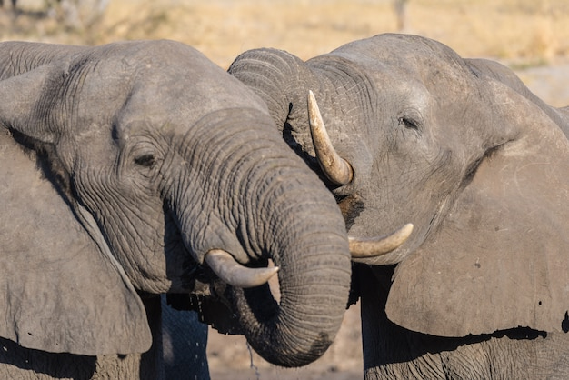 Couple of african elephants, young and adult, at waterhole.
