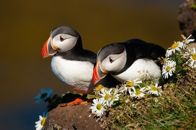 Couple of atlantic puffins sitting on a cliff with blooming flowers