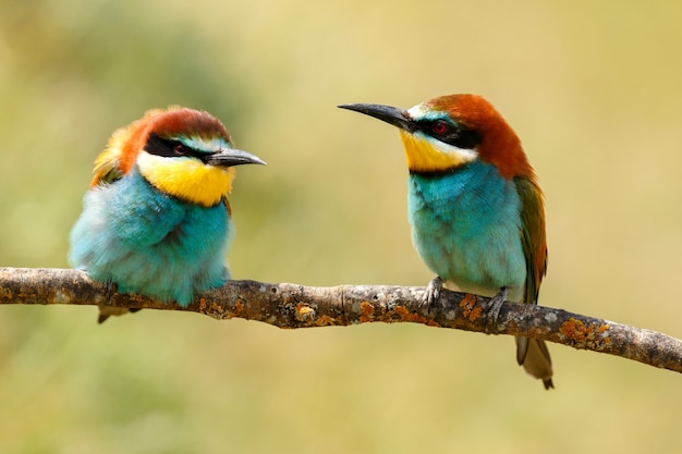 Couple  of bee-eaters