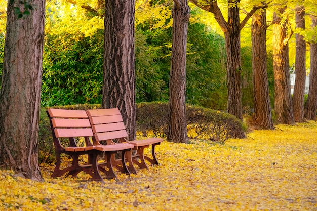 Couple of benches under autumn ginkgo tree in park.