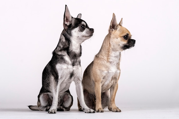Couple of chihuahuas, male and female looking towards the side