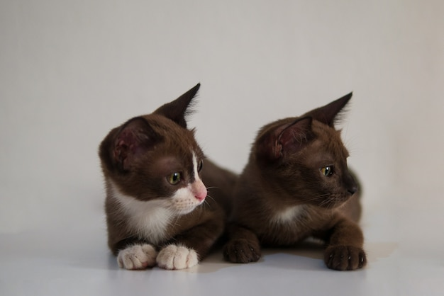 Couple chocolate brown kitten cat are looking at something as pet with curious facial expression for friend