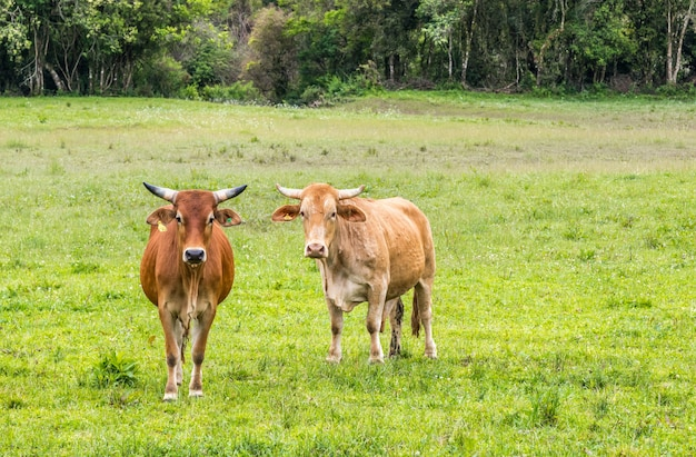 Couple of cows on a green pasture