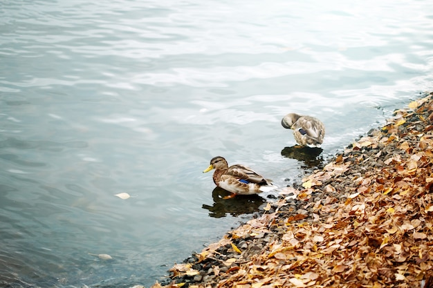 Couple of cute ducks on a city pond or lake birds on the water