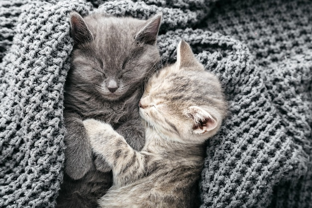 Couple cute tabby kittens in love sleeping kissing on gray soft knitted blanket. cats rest napping on bed. feline love and friendship on valentine day. comfortable pets sleep at cozy home. top view.