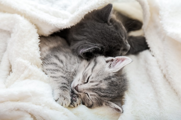 Couple cute tabby kittens sleeping on white soft blanket. cats rest napping on bed. feline love and friendship on valentine day. comfortable pets sleep at cozy home.