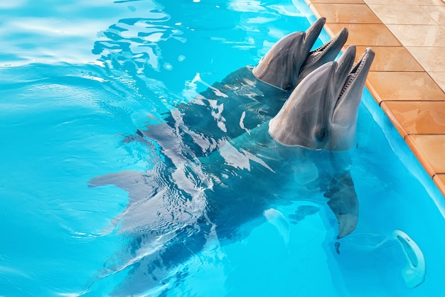 A couple of dolphins in the pool
