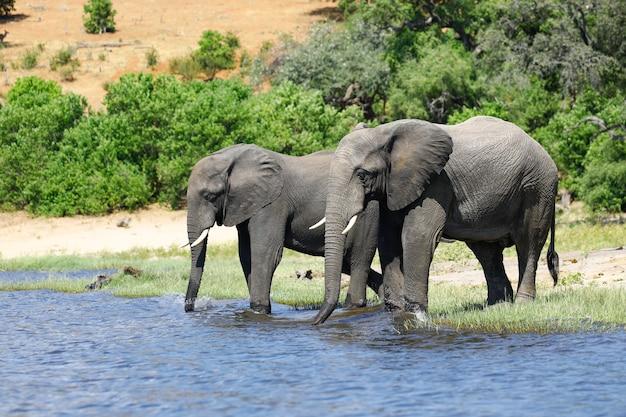 Couple of elephants drinking from a waterhole at savanna