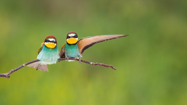 Couple of european beeeaters sitting on twig