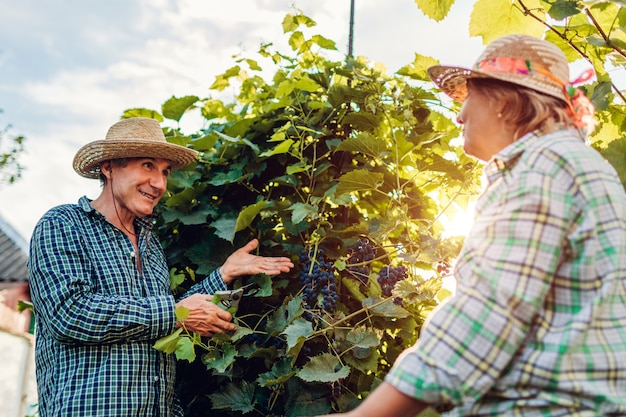 Couple of farmers checking crop of grapes on ecological farm.