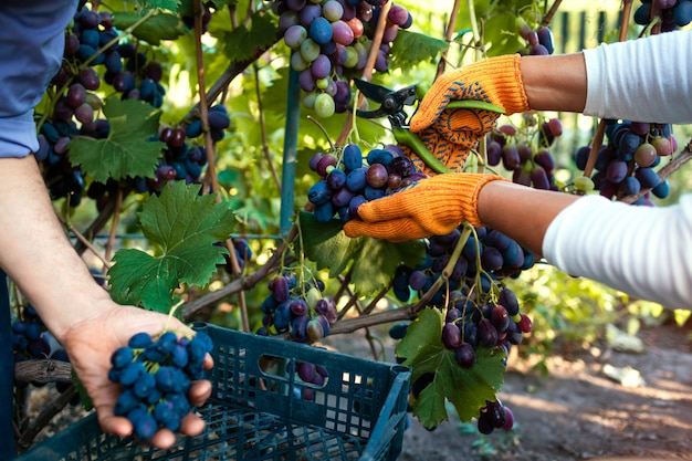Couple of farmers gather crop of grapes on ecological farm.