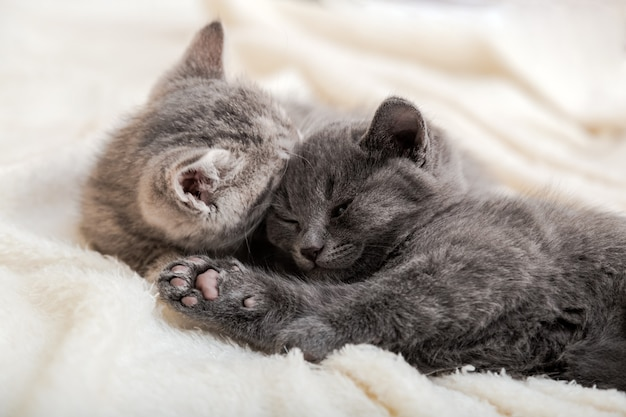 Couple fluffy kitten relax on white blanket. little baby gray and tabby adorable cat in love sleeping at home. kittens have rest. animal pet cats lie on bed.