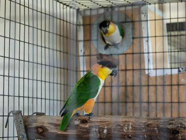 Couple green cheek parrot in cage