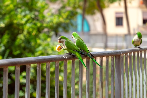 Couple of green parrots share bread on a fence in the city