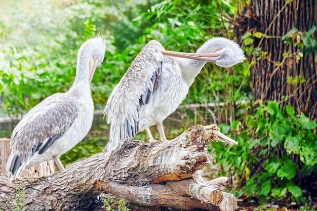 Пара серо-белых пеликанов в природе (pelecanus erythrohynchos).