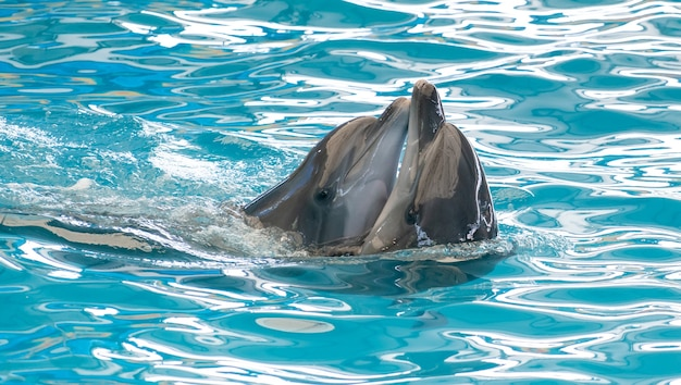 Couple happy smiling dolphin playing in blue water in aquarium.