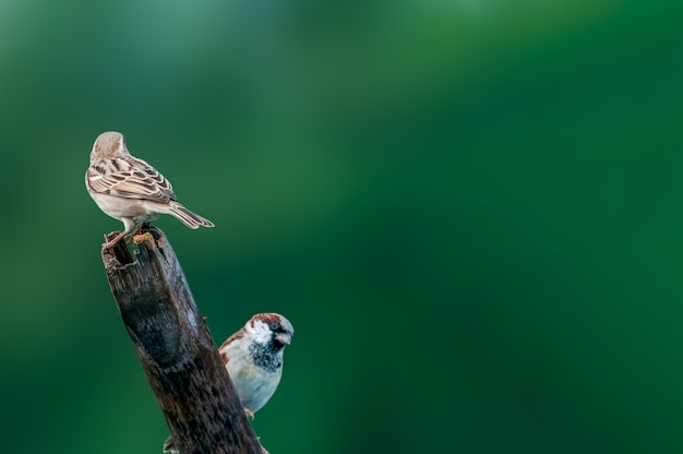 A couple of house sparrow against a green