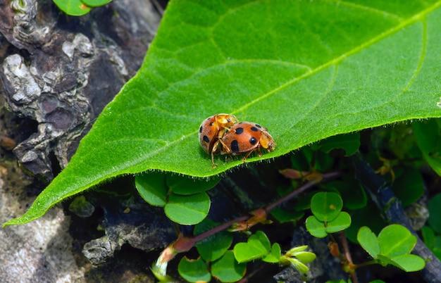 A couple of ladybugs make love on a green leaf