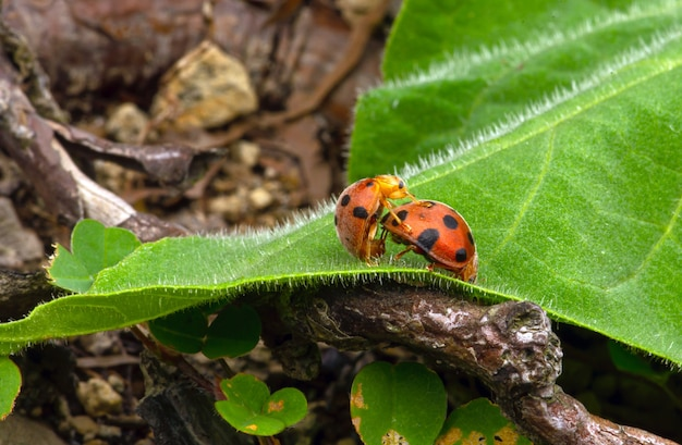 A couple of ladybugs mating on a green leaf.