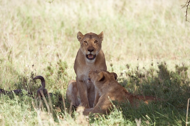 Couple of lioness with her prey