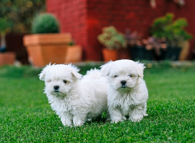 A couple of maltese bichon puppies in the grass