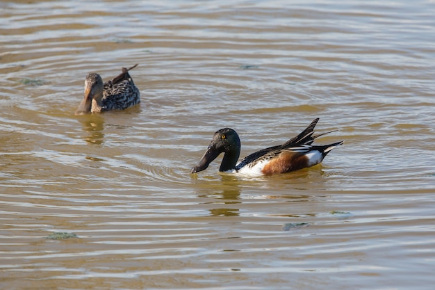 Couple northern shoveler (spatula clypeata) in the natural park the marshes