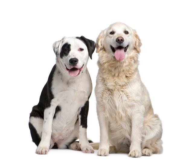 Пара смешанной породы собак и лабрадор золотистый ретривер