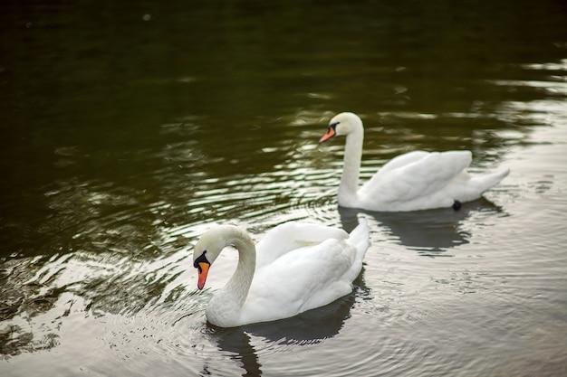 호수에서 아름 다운 하얀 백조의 커플
