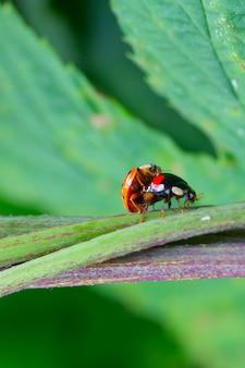 カブトムシテントウムシのカップルは、緑の芝生で交配します。セックス、愛、関係の概念