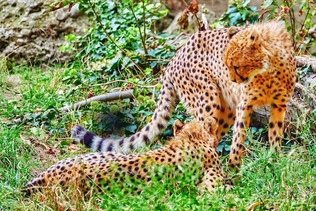 한 쌍의 치타(acinonyx jubatus)는 대부분의 아프리카와 이란의 일부에 서식하는 고양이과 아과에 속하는 큰 고양이입니다.