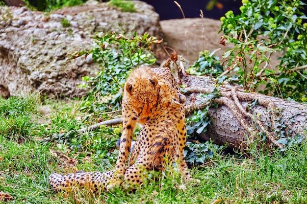한 쌍의 치타 놀이(acinonyx jubatus)-아프리카의 대부분과 이란의 일부에 서식하는 고양이과 아과의 큰 고양이입니다.