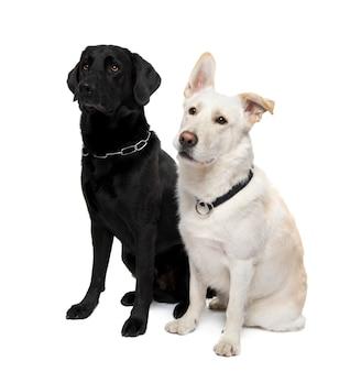 Пара скрещенных или смешанных собак