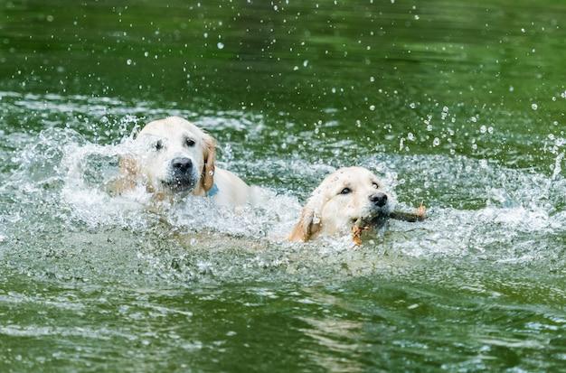 水で泳ぐかわいい犬のカップル
