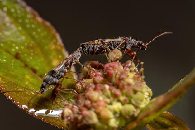 Пара грязных семенных клопов семейство rhyparochromidae совокупляется в цветке растения asthma растение вида euphorbia hirta