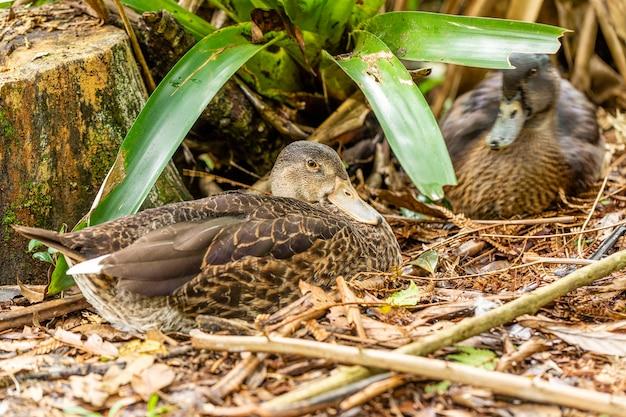 Пара уток заботится о гнезде, полном яиц.