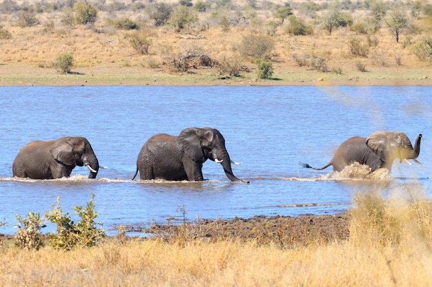 남아프리카 크루거 국립 공원에서 물 속에서 싸우는 코끼리 커플. 아프리카 야생 동물. 록소 돈타 아프리카 나