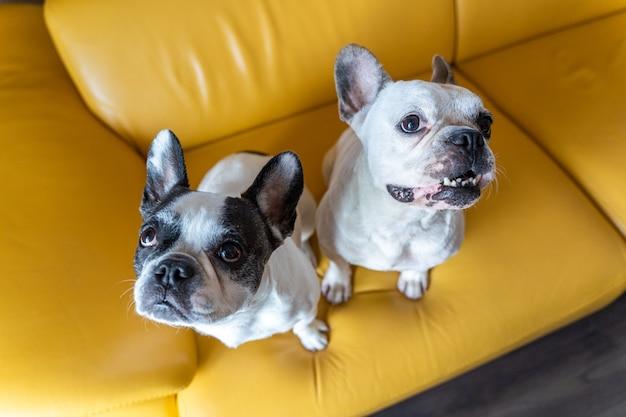 自宅でフレンチブルドッグのカップル。黄色の背景に分離された幸せな子犬の水平方向のビュー。