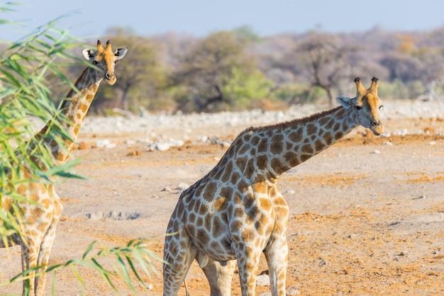 Пара жирафов гуляет в кустах.