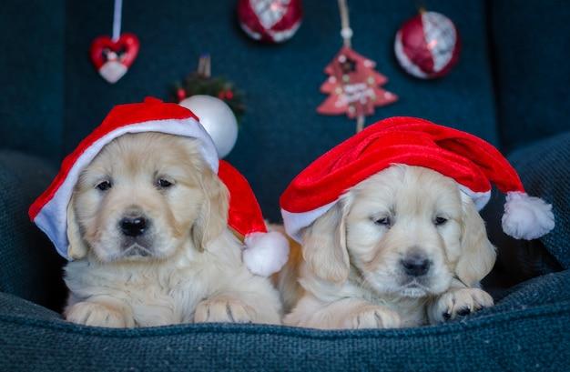 ゴールデンレトリバーの素敵な子犬とサンタの帽子のカップル。