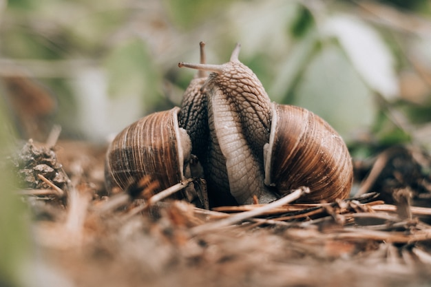 여름 숲에서 흐릿한 배경에 포도 달팽이의 커플