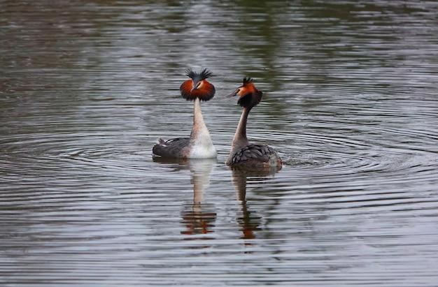 매우 대조적인 역광 속에서 사랑의 구애를 하며 호수 표면에서 수영하는 두 마리의 큰 농병