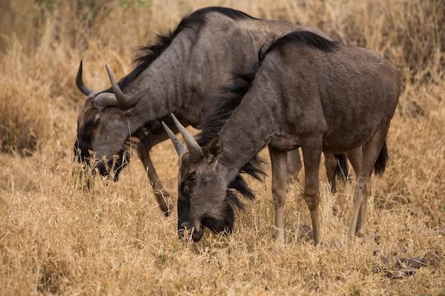 茂みの中で食べるギヌスのカップル。南アフリカ。