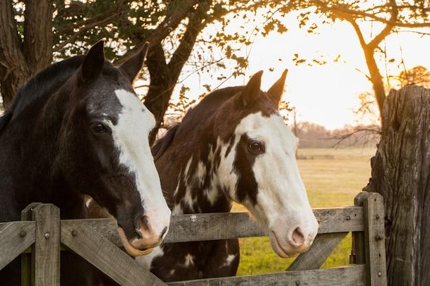 Пара лошадей на закате в поле.