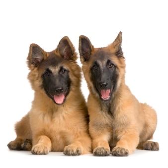 강아지 벨기에 tervuren의 커플