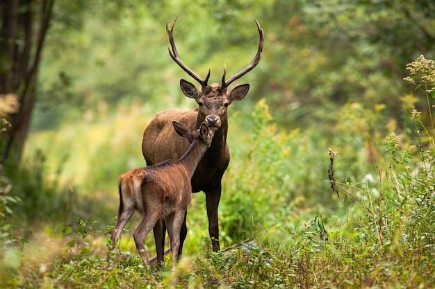 Пара благородных оленей, целующихся в лесу в летней природе