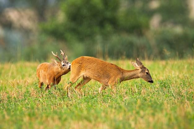 Пара косуль самец оленя и лань в сезон гона на сельскохозяйственном поле