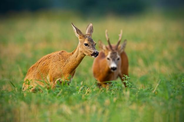 Пара косуль самец оленя и лань стоя на стерне с зеленым клевером