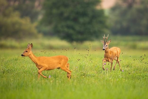 夏のペアリングシーズンの草原で実行されているノロジカのカップル