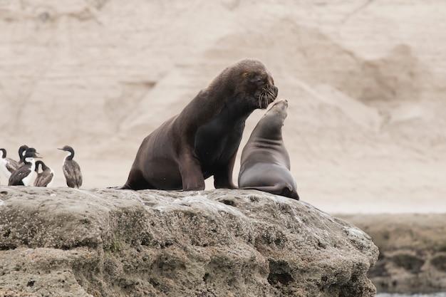 Пара южноамериканских морских львов